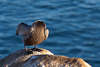 """This bird is starring in a remade of """"The Legend of Sleepy Hollow"""", called """"The Legend of Sleepy La Jolla"""".  Instead of the headless horseman, the movie features a headless pelican."""