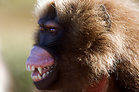 Gelada young male (Theropithecus gelada) lip flipping display, Simien Mountains National Park, Ethiopia.