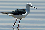 Black Winged Stilt, Himantopus himantopus, Lake Langano, Ethiopia, wading in waters edge.Africa....