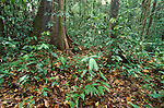 Primary Rainforest, Danum Valley, Sabah, low vegetation, undergrowth and forest floor, wide angle.Borneo....
