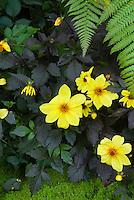 Dahlia Knockout black foliage yellow flowers