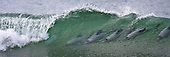 Hector dolphin, surfing a breaking wave at Curio Bay, New Zealand. (12x33 inch print)