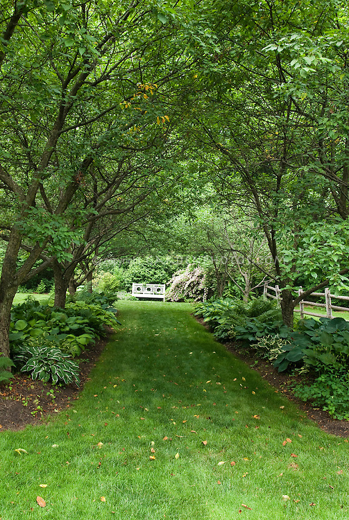 Walkway in shade garden under allee of trees, with hostas perennials planted underneath in backyard shaded garden bed