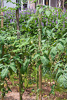 Tomatoes plants staking to a single pole, with Agastache, house, vegetable garden