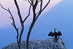 Pied cormorant, Wilson's Promontory National Park, Australia