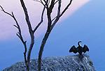 Pied cormorant, Wilson's Promontory National Park, Australia