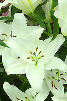 Lilium 'Universe' (Oriental lily) white