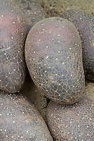 Purple Potato 'Purple Early' Solanum
