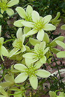 Clematis 'Pixie' (Fo/m) green flowers, dwarf, small growing perennial blooming vine climber