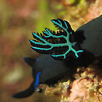 Kenting, Taiwan -- Close-up of the gill structure of the nudibranch Tambja morosa.