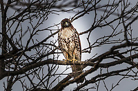 A Red-tailed hawk staring from its perch among tangled tree branches