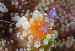 Sarasvati anemone shrimp (Periclimenes sarasvati) on orange and green anemone, Cenderawasih Bay
