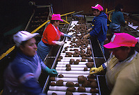 Workers sorting grades of potatoes on a conveyor belt. Texas.