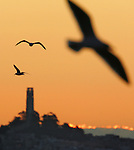 Seagulls fly over Coit Tower in San Francisco during sunrise, California.