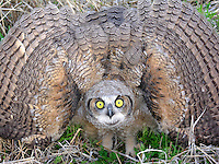 Great Horned Owl (Bubo virginianus), juvenile.