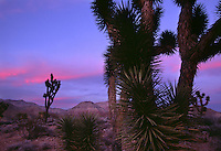 Mojave sundown silhouettes Joshua trees in the Virgin River Gorge south of St. George near the border of Utah in Arizona's Grand Canyon-Parashant National Monument.