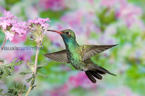 Male Broad-billed Hummingbird (Cynanthus latirostris) hovering and nectaring at a flower , Arizona, USA.