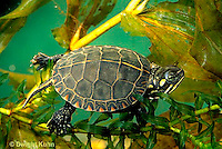 1R13-032z  Painted Turtle - young swimming underwater - Chrysemys picta