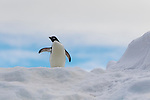 An Adelie Penguin on top of an iceberg off the coast of Cockburn Island, Weddell Sea, Antarctica