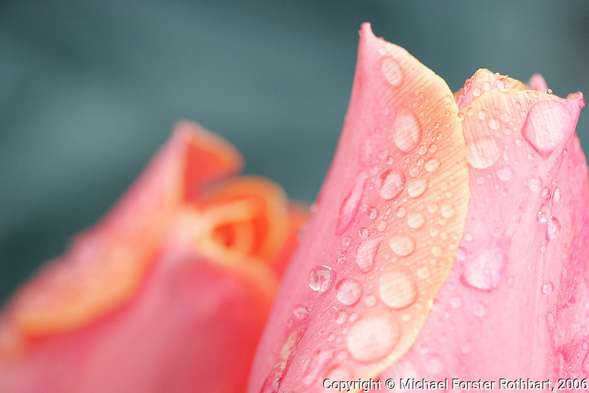 Raindrops cover the petals of a tulip in a residential flower garden after a spring rainfall, seen in a close-up macroscopic lens view.<br /> <br /> &copy; Michael Forster Rothbart<br /> www.mfrphoto.com <br /> 607-267-4893 o 607-432-5984<br /> 5 Draper St, Oneonta, NY 13820<br /> 86 Three Mile Pond Rd, Vassalboro, ME 04989<br /> info@mfrphoto.com<br /> Photo by: Michael Forster Rothbart<br /> Date: 5/2006    File#:  Canon 20D digital camera frame 1869