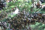 monarch butterfly cluster in Santa Cruz