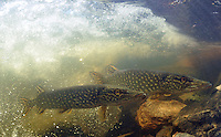 Pair of Northern Pike<br />