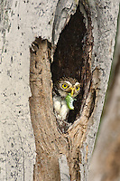 563990058 a wild ferruginous pygmy owl glassidium brasilianum holding a large katydid in its beak peers out from its cavity nest in a large tree on a private ranch in tamaulipas state mexico