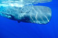sperm whale, Physeter catodon, Physeter macrocephalus, Azores, Portugal, Atlantic Ocean