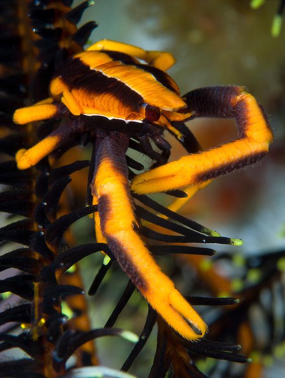 orange and brown Elegant squat lobster (Allogalathea elegans) on crinoid, Kimbe Bay