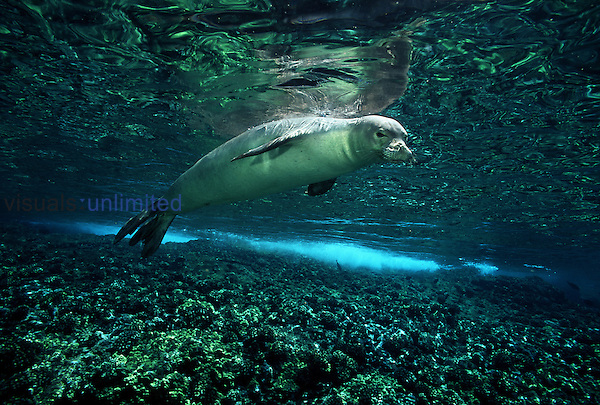 Hawaiian monk seals ,Monachus schauinslandi, ,endemic and endangered, are seldom sighted around the main Hawaiian Islands. Hawaii