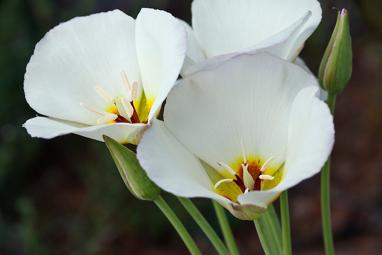 Sego lily, also referred to as mariposa lily (Calochortus nuttallii) blooms in the Tonto National Forest near Rye, Arizona, USA