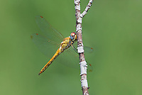 343000006 a wild wandering glider pantala flavescens perches on a plant stem at black rock springs in inyo county california