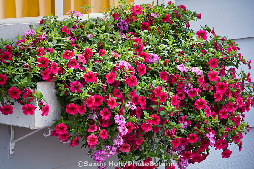 Window box of flowers with Calibrachoa 'Million Bells Brilliant Pink' at Jackson & Perkins / Suntory plant display at CA Pack Trials
