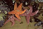 Three starfishes in tidal pool, Cannon Beach Oregon