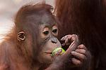 Bornean Orangutan (Pongo pygmaeus wurmbii) - juvenile eating a forest fruit