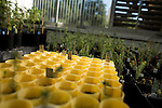 October 12, 2007, Raleigh, NC.. Newly sprouted pots of loblolly pine being grown for the experiment..Greenhouses at the Department of Forest Biotechnology at North Carolina State University are being used to grow trees with lower lignin levels to be better used for future bio-fuel technologies.
