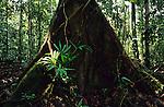 Primary Rainforest below canopy Sarawak