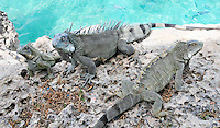 8 August 2009: The Green Iguana (Iguana iguana) is found throughout the island of Bonaire. These three (3) iguanas taken along the coral coastline at Captain Don's Habitat on the island of Bonaire, in the Netherlands Antilles. Mandatory Credit: Ed Wolfstein Photo