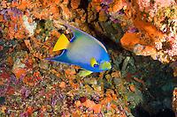 Queen angelfish<br /> Yellow Reef, Isla Desecheo<br /> Puerto Rico