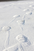 Polar bear prints in the snow on a barrier island in the Beaufort Sea, Arctic National Wildlife Refuge, Alaska.