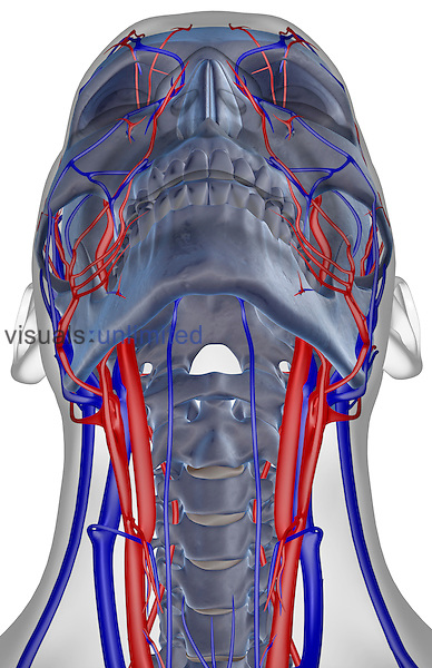 An inferior anterior view of the blood supply of the neck. The surface anatomy of the body is semi-transparent and tinted grey. Royalty Free