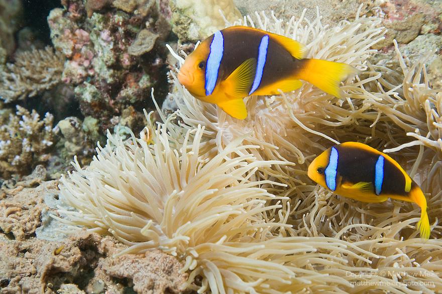 Paradise House Reef, Taveuni, Fiji; two Clark's Anemonefish (Amphiprion clarkii) swim over the tentacles of a Leathery Sea Anemone (Heteractis crispa)