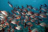 School of humpback snapper (lutjanus gibbus), Ari Atoll, Maldives.