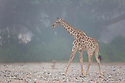 Namibia;  Namib Desert, Skeleton Coast, Hoanib River, giraffe (Giraffa camelopardalis) in fog, marine fog moving far inland from coast