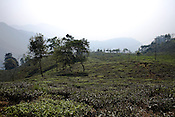 The spread of first flush tea leaves is seen at the Makaibari Tea estate, in Darjeeling, India.