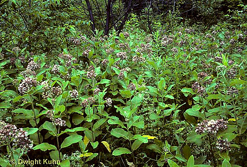 MK16-002e  Milkweed - field of milkweed plants in bloom - Asclepias syriaca