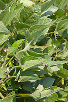 Soybeans crop vegetable Soy Beans Glycine max, evidence of aphids pests