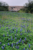 Dome and field of Texas Bluebonnets, Lupinus texensis, Enchanted Rock State Natural Area, Fredericksburg,Texas, USA
