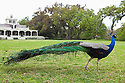 Male peacock (Pavo cristatus) on plantation grounds in Southern Louisiana