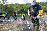 Alaska Department of Fish and Game employees capture red salmon to extract eggs for the Gulkana Hatchery, located near Summit lake in the Alaska mountain range.